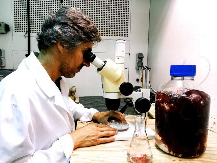 Greener Grazing team member Dr. Leonardo Mata examines a strain of Asparagopsis taxiformis red seaweed closely under microscope.
