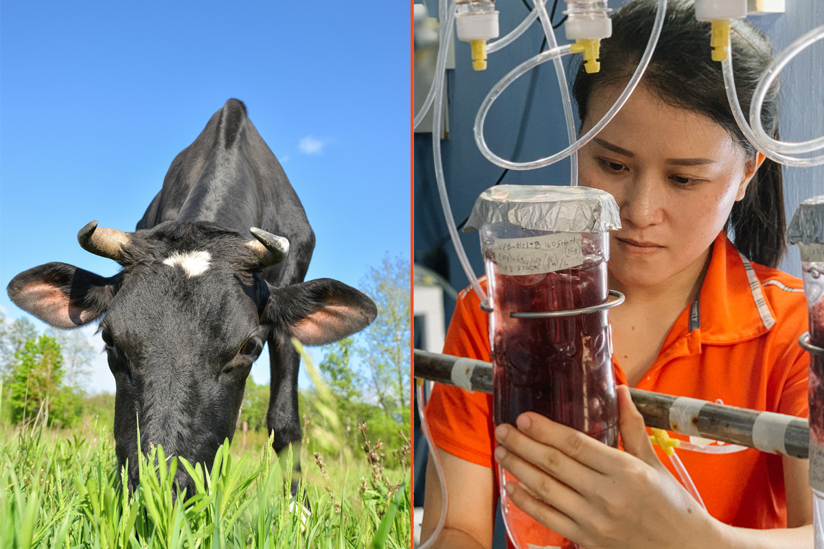 Can We Grow Enough Seaweed to Help Cows Fight Climate Change