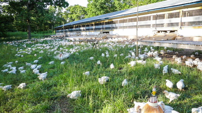 Pastured birds roam outside a chicken house. Photo courtesy of Cook's Venture by Chris Montgomery.