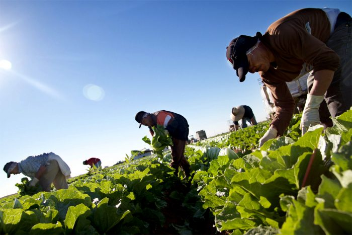 Mexican workers pick romaine lettuce in a field near Yuma, AZ on November 23, 2012. Photo by Peter Haden.