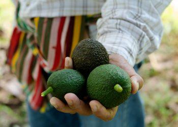 farmer holding avocados