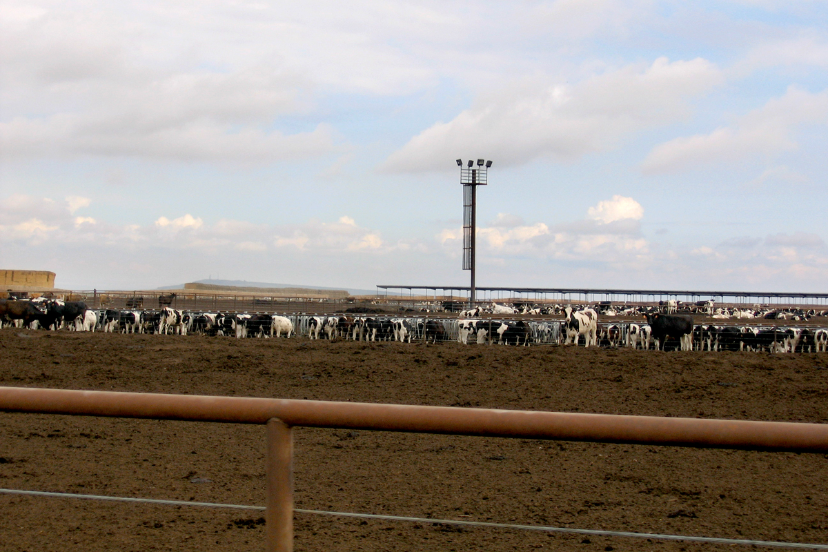 Cattle in drylot at Threemile Canyon Farms in Oregon. Photo CC-licensed by Friends of Family Farmers.