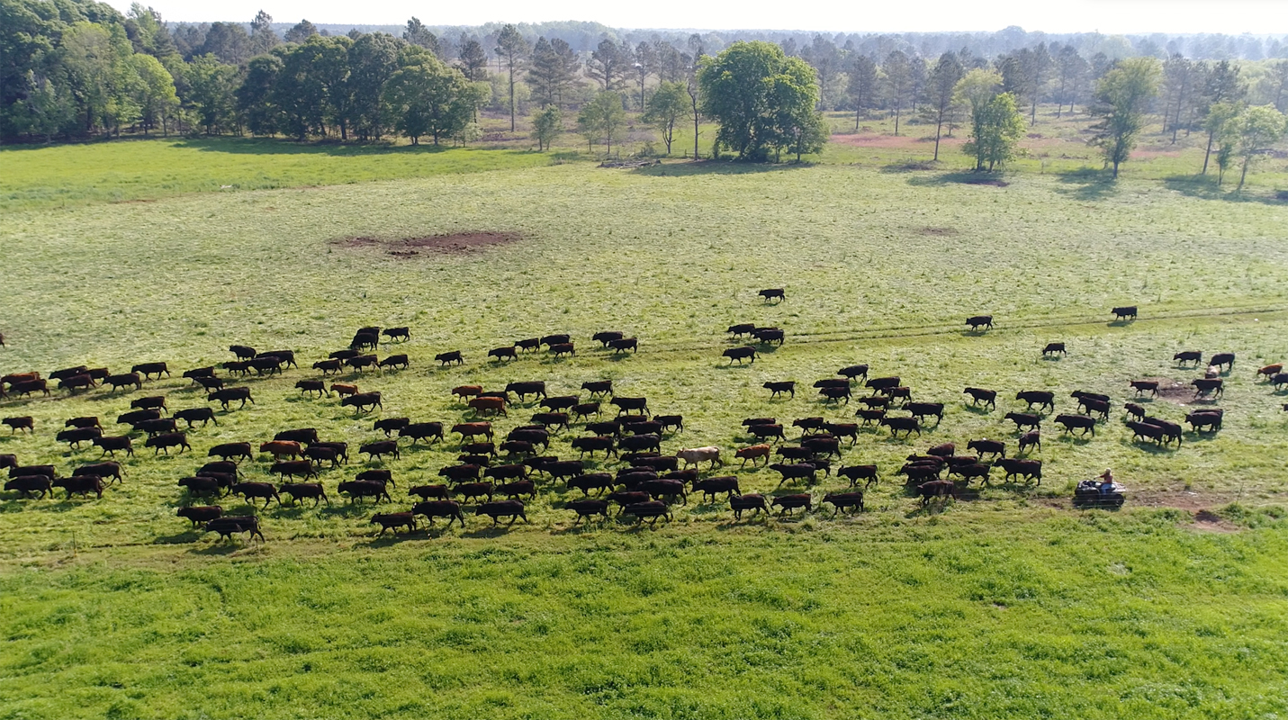 Moving the herd of cattle at White Oak Pastures. Photo courtesy of White Oak Pastures.