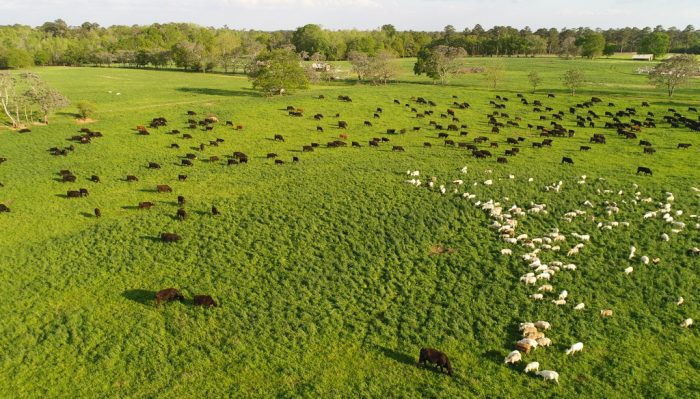 Cattle and sheep grazing at White Oak Pastures. Photo courtesy of White Oak Pastures.