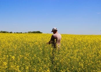 farmer in a canola field checking his crop