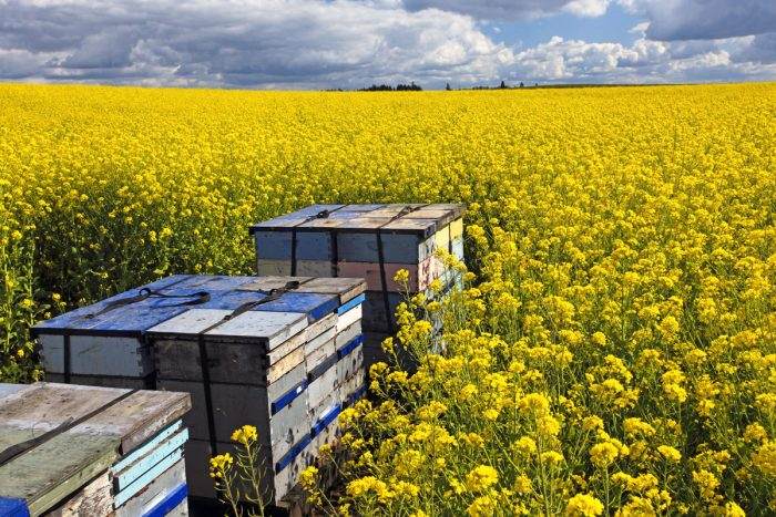 Beehives in an Oregon canola field