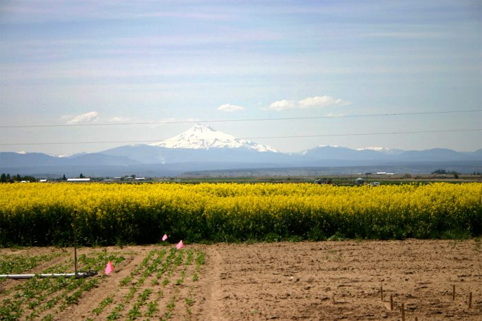 canola field in oregon's willamette valley