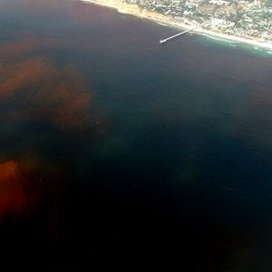 Red Tide caused by Dinoflagellates off the Scripps Institution of Oceanography Pier, La Jolla California. (Public domain photo by P. Alejandro Díaz and Ginny Velasquez)