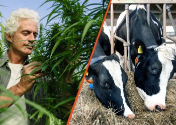 hemp farmer and a bunch of dairy cows