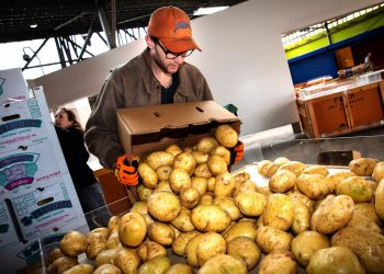 Recovering potatoes for Food Forward (Photo © Eron Rauch)