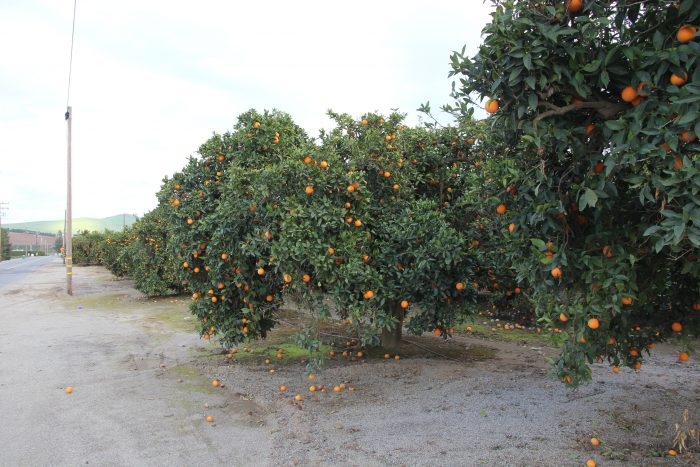 orange orchard in Lindsay, CA