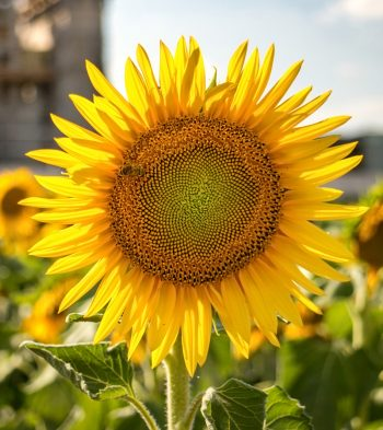 Sunflower, one of many flowers grown in Community Roots gardens.