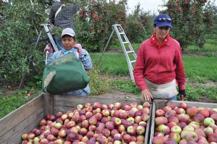 Female farmworkers on an apple farm in Upstate New York during harvest season