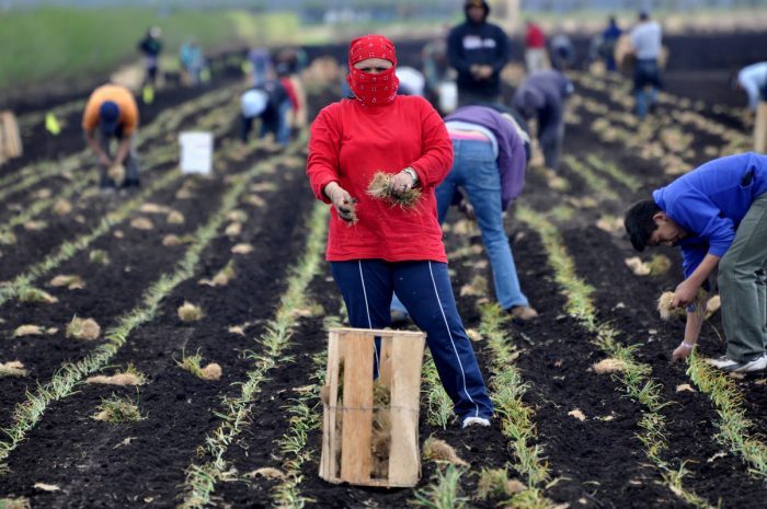 Mexican farmworkers plant onions by hand in the Spring in Upstate New York.