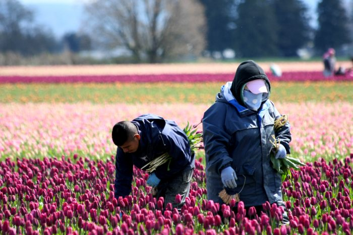 Two agricultural guest workers pick tulips in Mount Vernon, Washington.