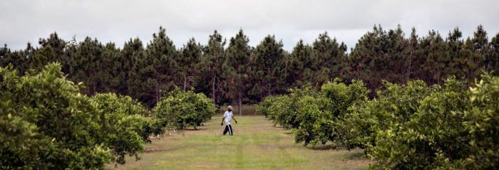 A pruner walks between rows of Satsuma mandarins on the New Communities farm in Dougherty County, Georgia in May 2019. Photo by Mike Kane for Marguerite Casey Foundation's Equal Voice News