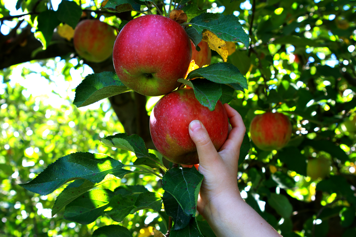 hand picking an apple from a food forest