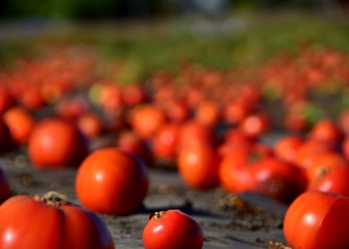 farm food waste of tomatoes rotting in the field. Photo CC-licensed by Steve Corey on Flickr.