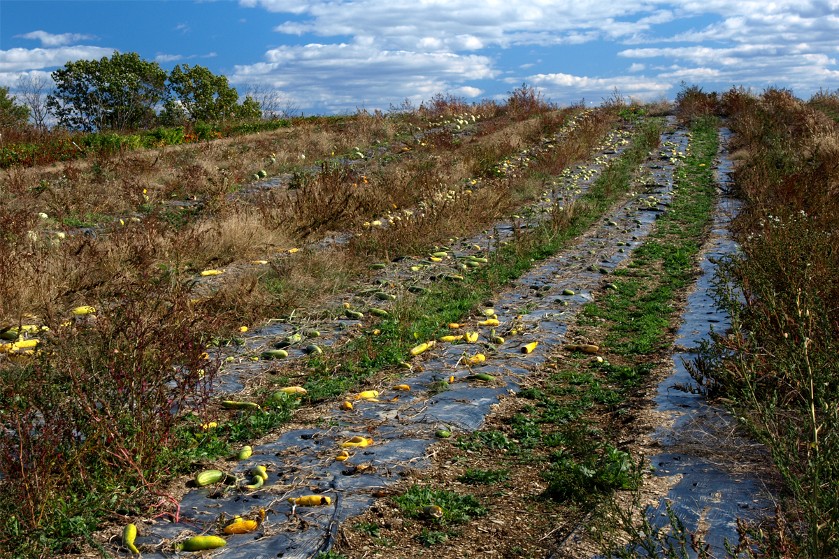 Farm food waste peppers and other produce rotting in the field after the harvest.