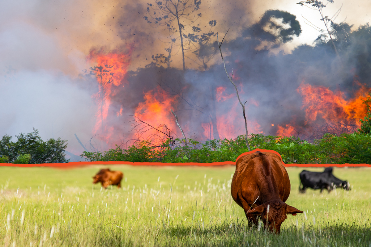 Composite photo of beef cattle eating grass in front of the Amazon rain forest burning