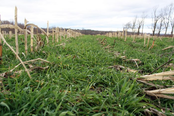 Cover crops being used in regenerative farming at Whittier Farms in Sutton, Mass. (Photo credit: USDA NRCS)