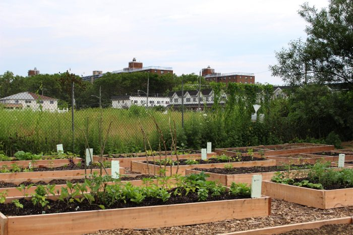 East New York Farms, with the Louis H. Pink houses in the background. (Photo by Ada Cowan)