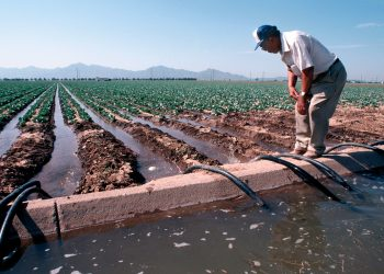 A farmer adjusts siphon tubes on furrow irrigated lettuce near Phoenix, Arizona. (NRCS photo by Tim McCabe)