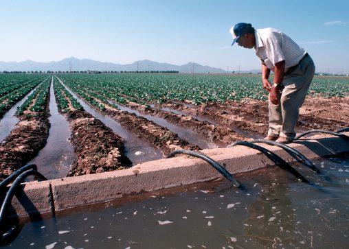 A farmer adjusts siphon tubes on furrow irrigated lettuce near Phoenix, Arizona. (NRCS photo by Tim McCabe)
