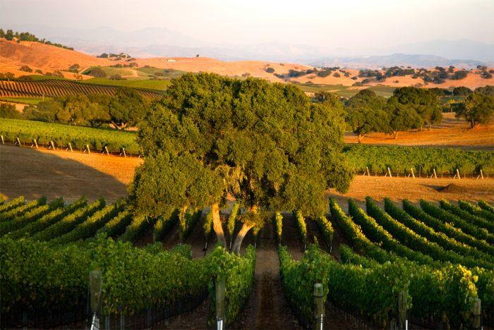 dry farmed grapevines photo courtesy of Jonata