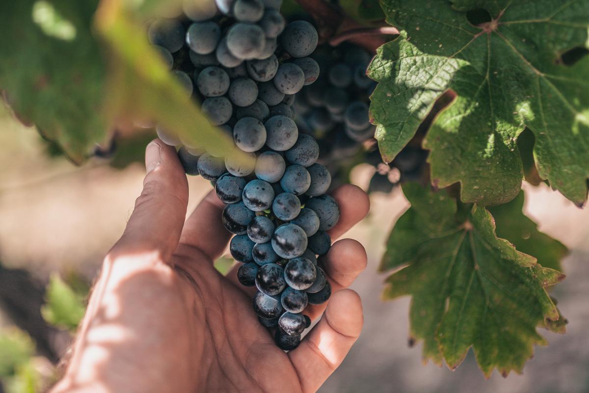 hand harvesting a dry-farmed grapevine field