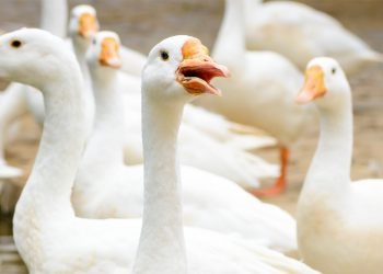 Geese photo by Amit Talwar on Unsplash