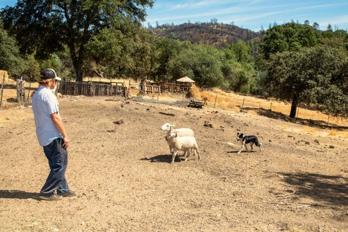 Tchudi used working dog Haro (right) to herd sheep and pigs that had sheltered in place during the Camp Fire.