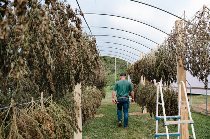 Drying the hemp harvest. (Photo credit: Anna Carson Dewitt Photography)