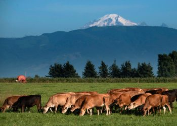 Cows graze in a pasture at Twinbrook Creamery in Lynden, Washington. (USDA Photo by Lance Cheung.)