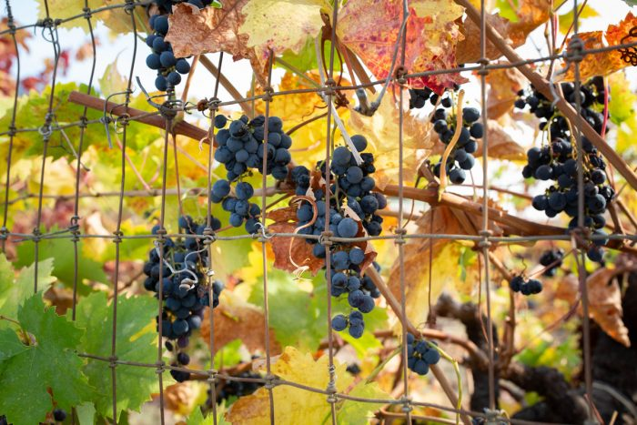 October marks not only fire season in California but also the peak of the grape harvest. As wildfires grow more frequent, so do concerns for field workers, who can face conditions that can jeopardize their health. (Photo credit: Anna Maria Barry-Jester/KHN)