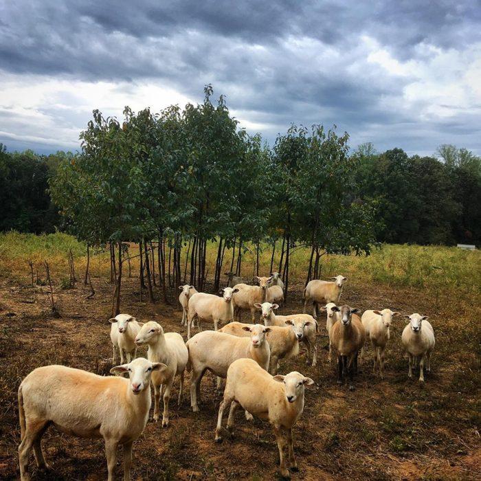 Sheep grazing. (Photo courtesy of Hillary Kimmel / Pine Trough Branch Farm.)