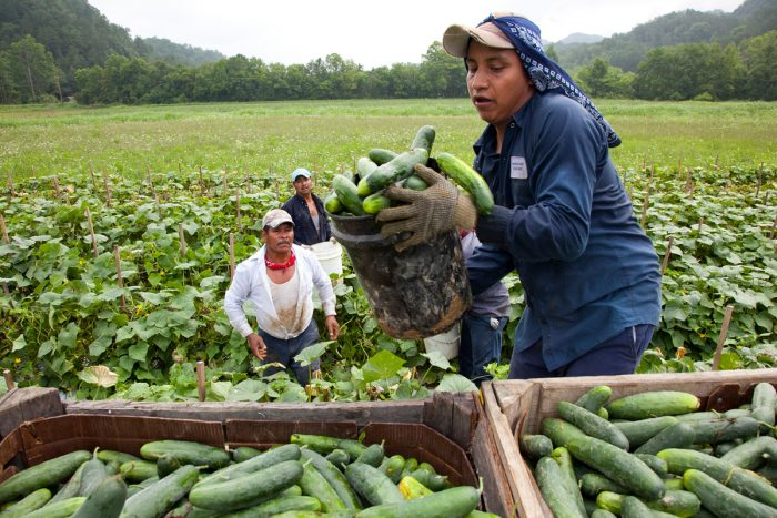Migrant workers load cucumbers into a truck in Blackwater, Virginia. (Photo CC-licensed by Bread for the World)