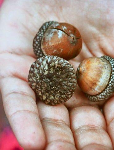 hand holding acorns