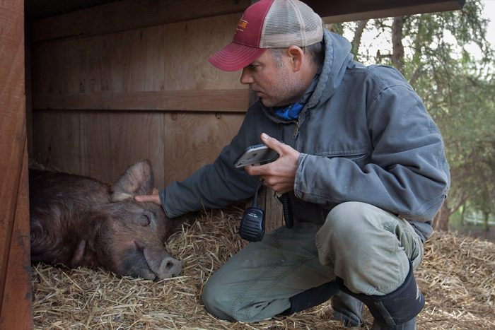 John Chester visiting one of Apricot Lane Farm's pigs. (Photo courtesy of Biggest Little Farm)