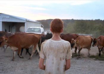 A boy herding cows in Farmsteaders