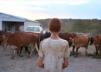 A boy herding cows in Farmsteaders