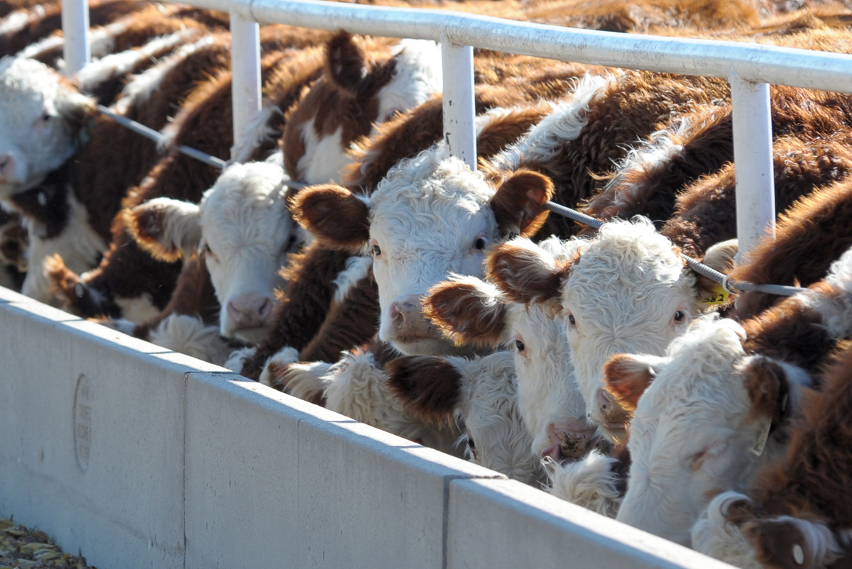 cattle in a cafo feedlot
