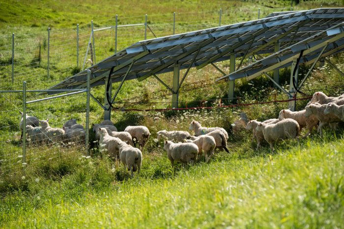 Sheep grazing around solar panels in Cashton, Wisconsin.