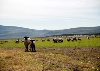 Lani Estill's sheep grazing at Bare Ranch. (Photo by Paige Green for NRCS)