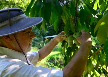 inspecing pawpaw fruit on the tree