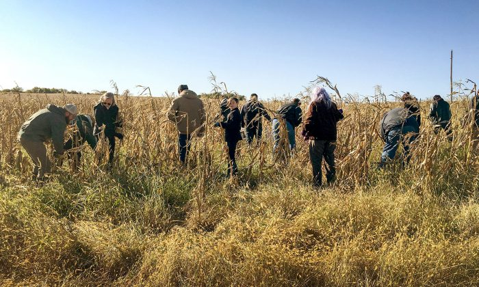 At the 2019 fall harvest on October 15, 2019, volunteers visit a spot co-opted with soil master Del Ficke in an acreage where Pawnee blue corn grows strong in Pleasant Dale, Nebraska. Photo from Pawnee Seed Preservation Project.