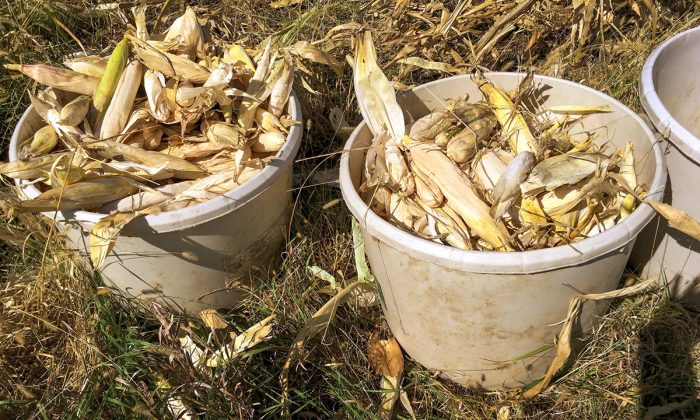 Volunteers organized corn for seed, corn for feeding and ceremony, and corn with distinguishing characteristics into different buckets. Photo from Pawnee Seed Preservation Project.