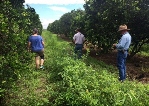 UF/IFAS specialist and citrus growers scout the grove for insects. Beneficial insects are always around with the diversity of species and flowering in the cover crops. (Photo by Juanita Popenoe)