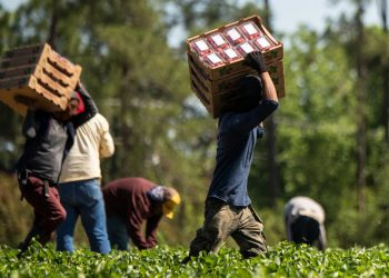 Farmworkers pick strawberries at Lewis Taylor Farms in Fort Valley, GA. (USDA photo by Lance Cheung)