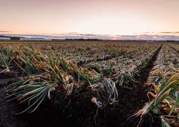Onion Field in New York's Black Dirt Region